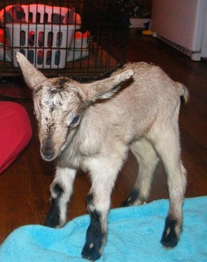 goat-boy-2-web2_m
