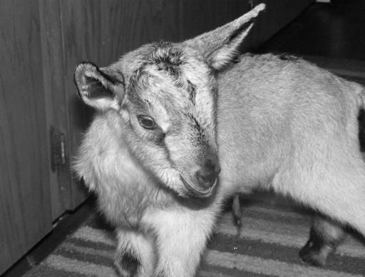 goat-boy-bw_m1